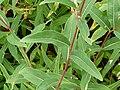 P1000634 Epilobium angustifolium var. brachycarpum (Onagraceae) Leaf.JPG