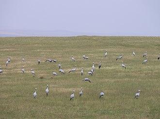 Bontebok National Park - Image: P1020831 blaue Kraniche Paradieskranich Anthropoides paradisea