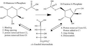 Mannose phosphate isomerase - Rough mechanism showing cis-enediol intermediate