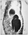 PSM V79 D576 Division of the fertilization nucleus of the protozoa.png