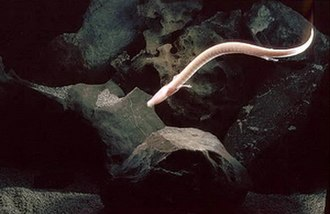 Olm - The olm swims by serpentine bending of the body.