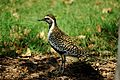 Pacific Golden Plover - breeding plumage.jpg