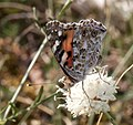 Painted Lady Cynthia cardui 4 (3822827426).jpg