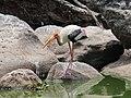 Painted stork from mysore zoo IMG 7956.jpg