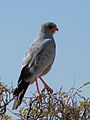 Pale Chanting Goshawk (Melierax canorus).jpg