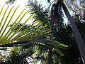 Palm Arboretum St. Petersburg, FL.JPG