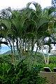 Palma areca (Dypsis lutescens) (14528861374).jpg