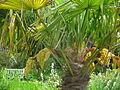 Palme Bodnant Garden.JPG