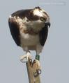 Pandion haliaetus, Urdaibai Bird Center.png