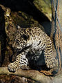 Panthera onca zoo Salzburg 2009 09.jpg