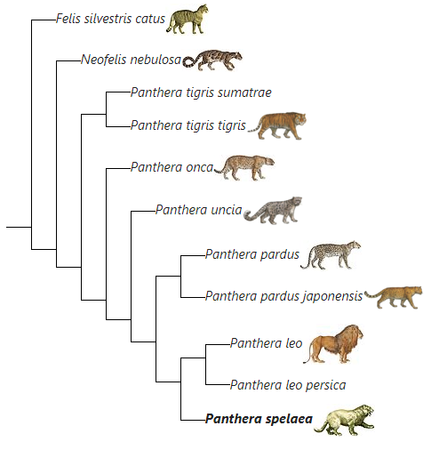 Panthera species evolution.png