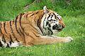 Panthera tigris at the Bronx Zoo 006.jpg