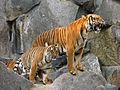 Panthera tigris corbetti (Tierpark Berlin) 842-724-(118).jpg