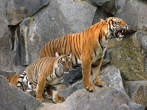 Panthera tigris corbetti (Tierpark Berlin) 842-724-(118)