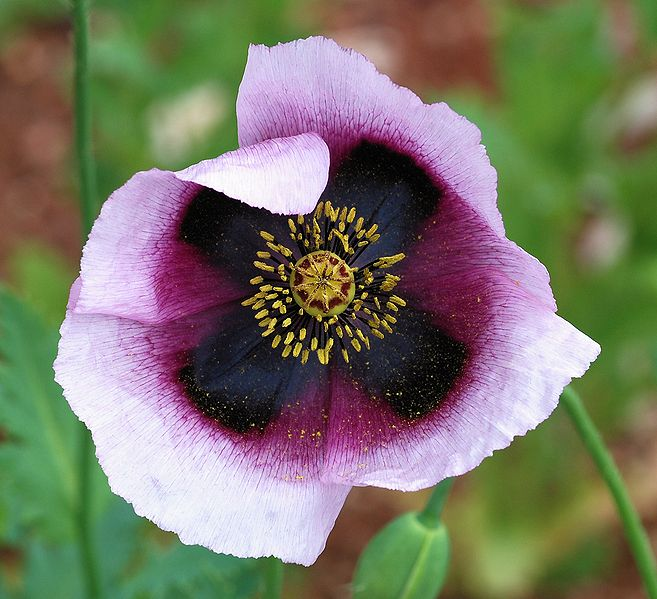 File:Papaver April 2010-13 crop.jpg