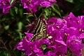 Papilio machaon (KPFC) (05).jpg