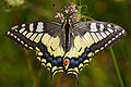 Papilio machaon MichaD 2.jpg