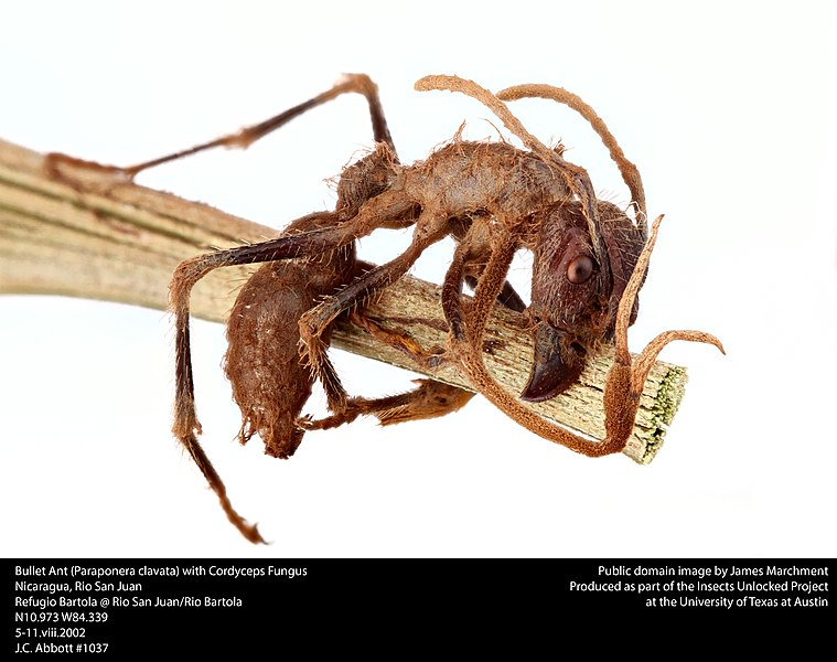 Bullet Ant Deutsch
