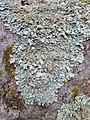 Parmelia saxatilis 106296859.jpg