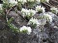 Paronychia sp., Jelašnička klisura, Niš, Srbija.jpg