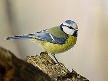 Blaumeise (Bild: Sławomir Staszczuk / Wikipedia)