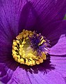 Pascue flower in a garden.jpg