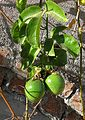 Passiflora edulis (27791623296).jpg