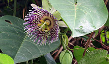 Passiflora ligularis (14642851748).jpg