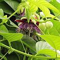 Passiflora quadrangularis-IMG 4472.jpg