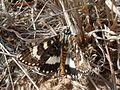 Pasture Day Moth flight (3438752051).jpg