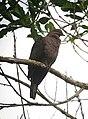 Patagioenas subvinacea Paloma colorada Ruddy Pigeon (18614786685).jpg