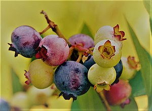 Flavonoid - Blueberries are a source of dietary anthocyanidins.