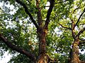 Pecan Tree - Flickr - treegrow.jpg