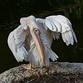 Pelecanus onocrotalus cleaning its feathers at sunset (2).jpg