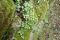 Pellaea rotundifolia kz1.jpg