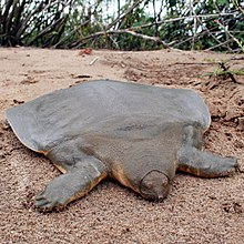 Cantors giant softshell turtle wikipedia cantors giant softshell turtle publicscrutiny Gallery