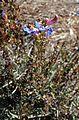 Penstemon heterophyllus Electric Blue kz1.jpg