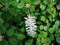 Peperomia fraseri (5737193741) (2).jpg