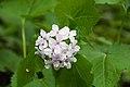 Perennial honesty Lunaria rediviva (8987957926).jpg