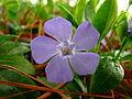 Periwinkle-lavender-blue-macro-spring-flower - West Virginia - ForestWander.jpg
