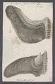 Perna femoralis - - Print - Iconographia Zoologica - Special Collections University of Amsterdam - UBAINV0274 075 06 0007.tif