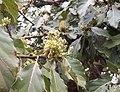 Persea americana flowers.JPG