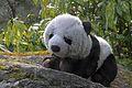 Petit panda au jardin (6824138120).jpg