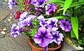 Petunia ×atkinsiana.jpg