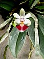 Phalaenopsis parishii Orchi 23571-1.jpg