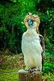 Philippines Eagle.jpg
