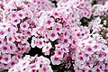 Phlox paniculata - Giardino d'Europa De Gasperi 2.jpg