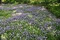Phlox stolonifera Sherwood Purple 7zz.jpg