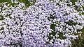 Phlox subulata at Yamasa Kamaboko Yumesaki Plant in 2014-4-27 No,4.JPG
