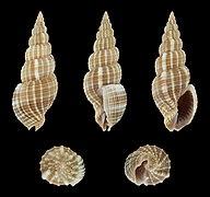 Phos roseatus 01.JPG